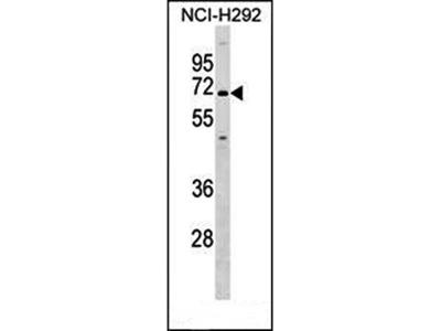 KCNN1 antibody