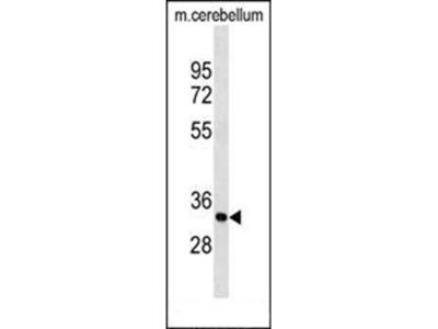 PIp1 antibody
