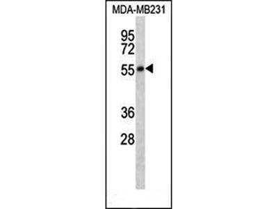 HTR7 antibody