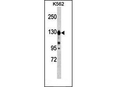 ESYT1 antibody