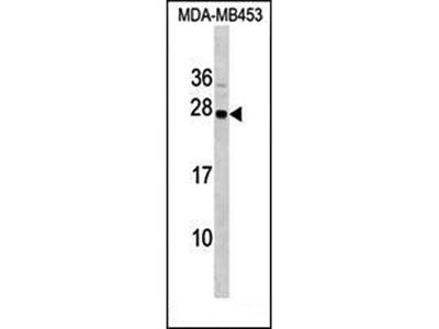 SYNGR1 antibody