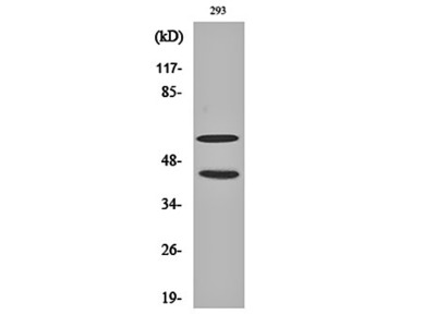 JNK1/2/3 (phospho-T183/Y185) antibody