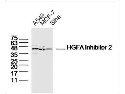 HGFA Inhibitor 2 antibody