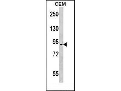 EPB41L4A antibody