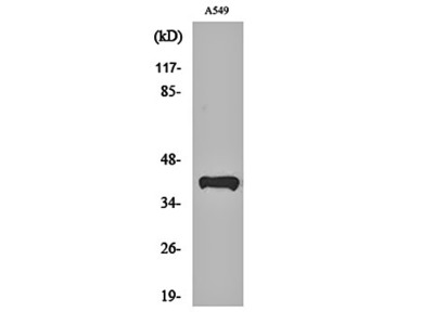 Peroxin 14 antibody