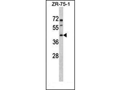 PANX3 antibody
