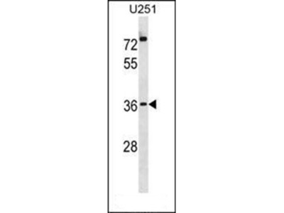 POPD3 antibody