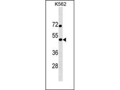 SS18L1 antibody