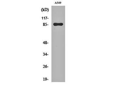 PIPK I gamma antibody