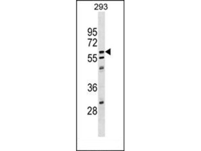 CPNE5 antibody