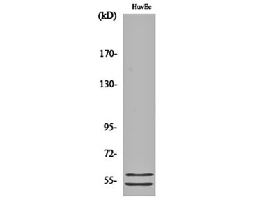 CBG antibody