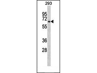 SRPX antibody