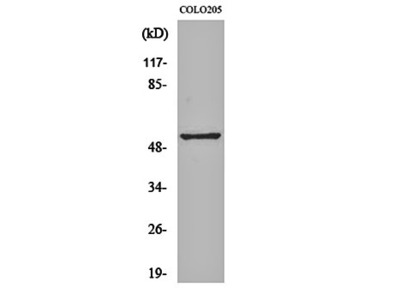 Melanopsin antibody