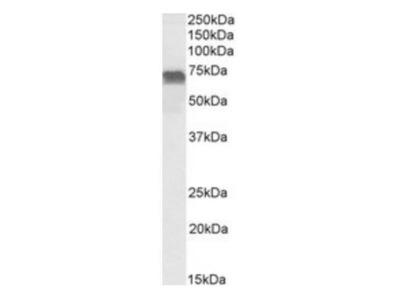 LMO6 antibody