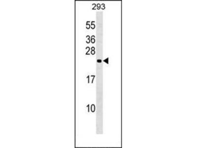 N6AMT1 antibody