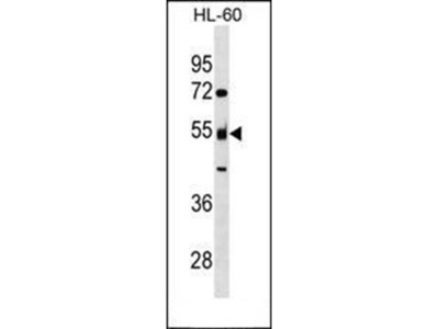 NAP1L2 antibody