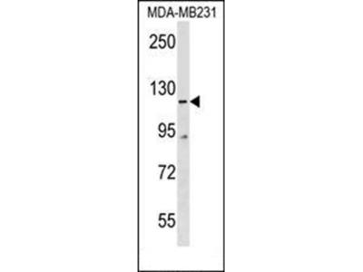 COBLL1 antibody