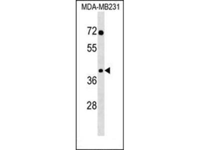 SNAPC3 antibody
