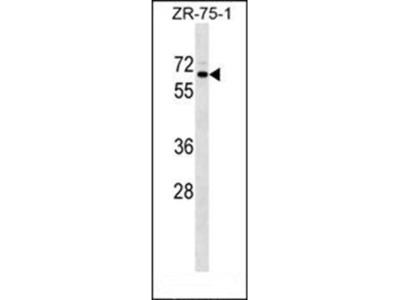 SRPR antibody
