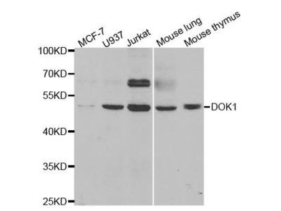 DOK1 antibody
