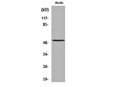 Tubulin alpha-3C/D/E antibody