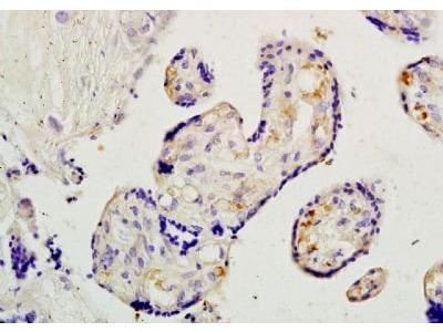 Placental lactogen I+II antibody