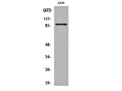 CLC-7 antibody