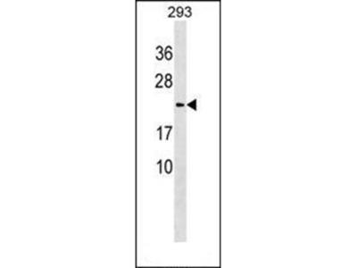 Lysozyme-like protein 1 antibody