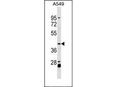 ACTL8 antibody