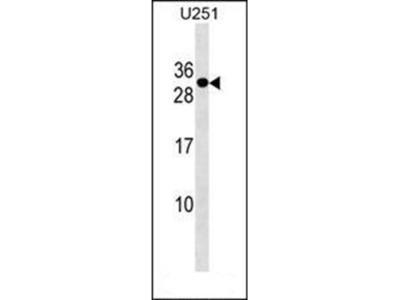 POMZP3 antibody