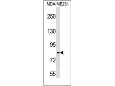 LRRC70 antibody