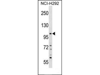 PLEKHA6 antibody