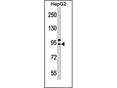 AP4B1 antibody