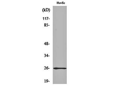 Rab L2A antibody