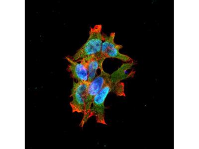 LRRK2 antibody