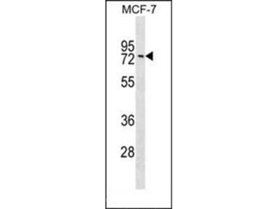 GNL1 antibody