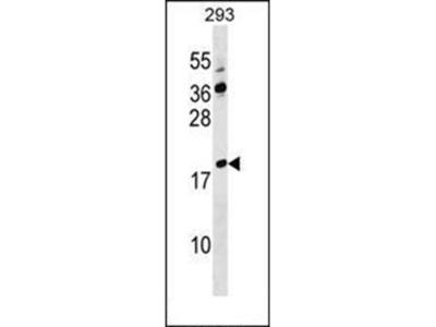 Lysozyme-like protein 4 antibody