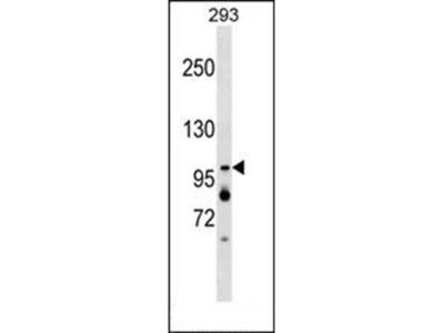 XAB2 antibody