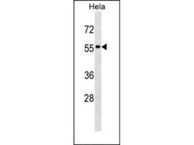 STAU1 antibody