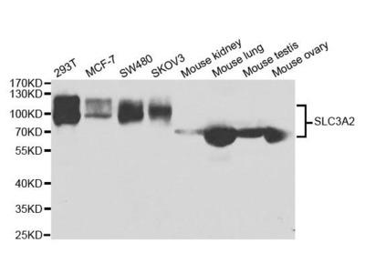 SLC3A2 antibody