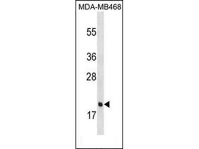 PGLYRP1 antibody