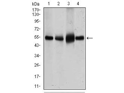 SLC2A4 antibody