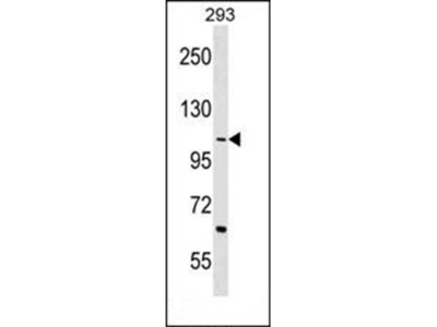TEX2 antibody