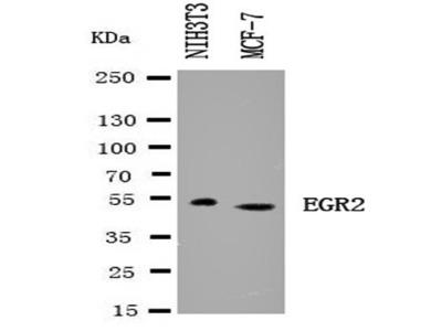 EGR2 antibody