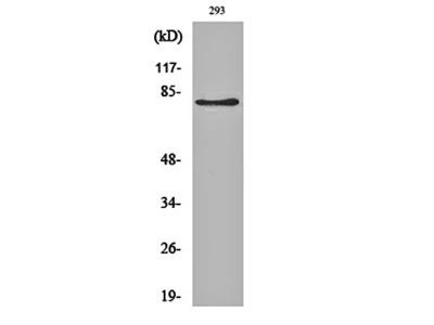 Adducin beta antibody