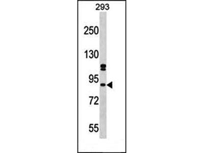 SUPT6H antibody