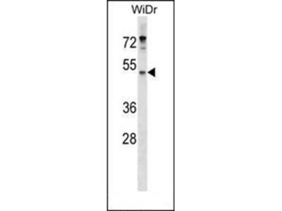 ENPP4 antibody