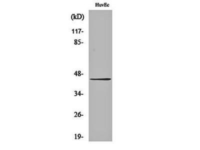 Connexin 43 (phospho-S368) antibody