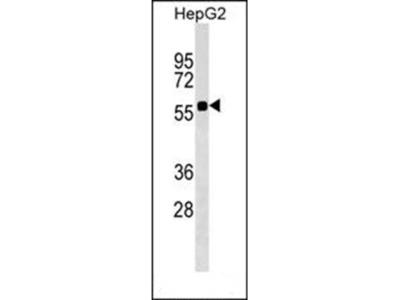 SRCRB4D antibody