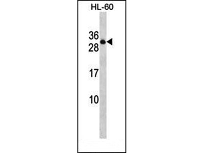 CD45AP antibody